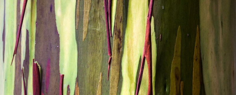 Rainbow Eucalyptus (Eucalyptus deglupta) Tree Bark, Hawaii, USA