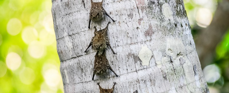 Bats forming line on tree trunk - close-up - Peru