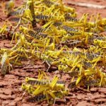East Africa fears prolonged locust invasion as eggs hatch from first wave