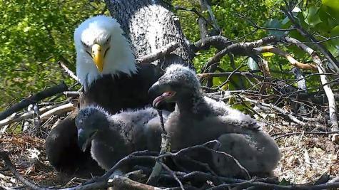 Bald Eagle cam sparks patriotism