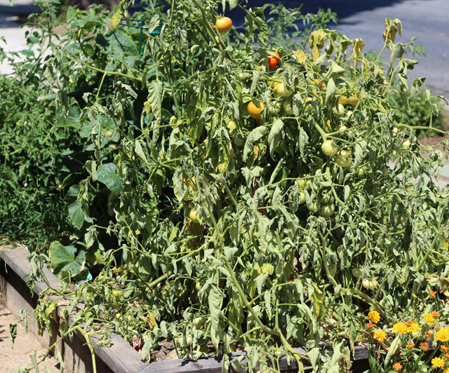 wilted tomato two