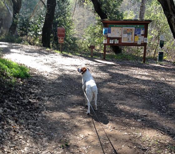 cooper on a leash