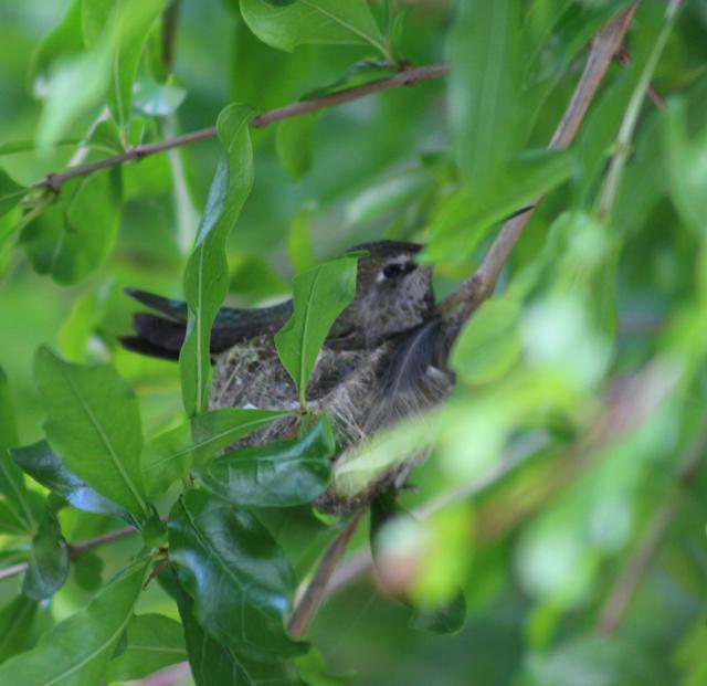 hummer in nest