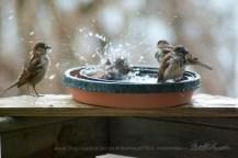 Sparrow fun in the bird bath.