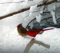 male and female cardinals in the snow
