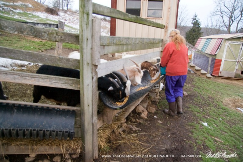 Birgitta feeding the goats.