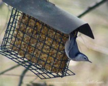 A nuthatch at the suet feeder.