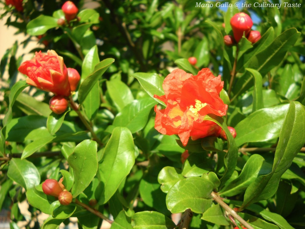 The Green Pomegranate Tree with Beautiful Vermillion Flowers (1/3)
