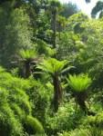colins-trip-tree-fern-dicksonia-antartica_curious-gardener