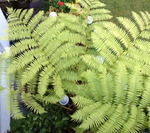 Lacy-Tree-Fern-Cyathea-Cooperi-crozier_a_curious_gardener_3