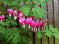 dicentra-bleeding-heart-a-curious-gardener-how-to-grow-image-4