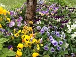 Violas in full glory – winter & spring colour, how to grow