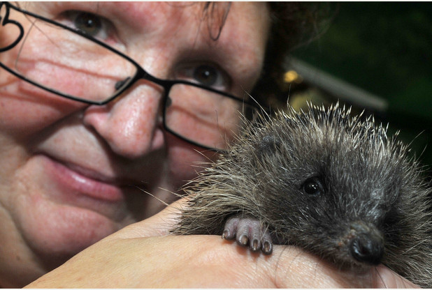 Hedgehogs take the limelight at Shepreth Wildlife Park