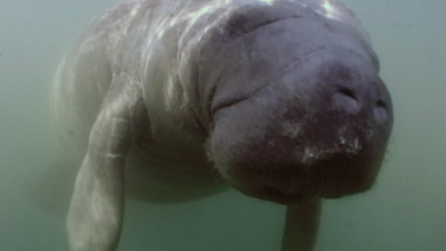 Watch Scientists Try Everything to Put a Camera on a Manatee