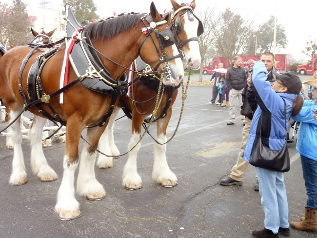Anheuser-Busch brewery in Fairfield will host Clydesdales for Super Bowl