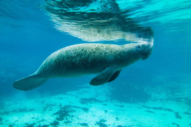 WOW. Who Knew Manatees Were This Awesome?