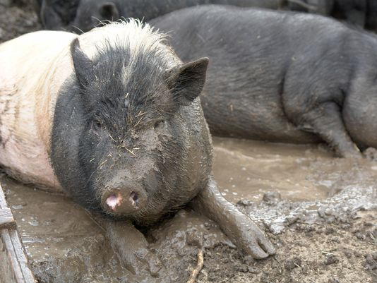 Bacon Day, hog inventory and irony