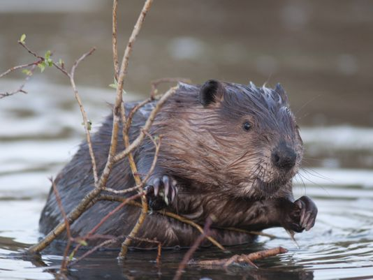 Ten facts about beavers on International Beaver Day