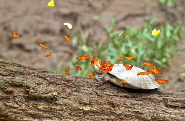 Amazonian Butterflies Drink Turtle Tears