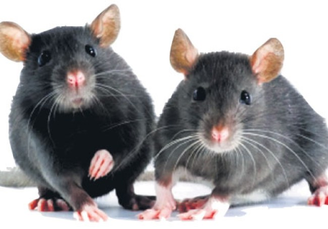 April 4 is World Rat Day
