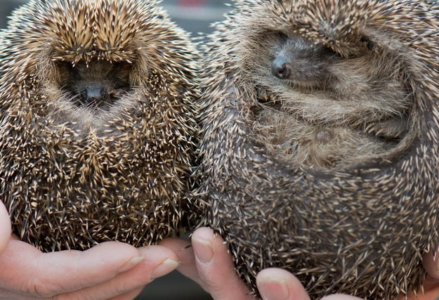 Should The Hedgehog Be Britain's National Symbol?
