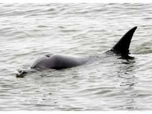 Bolsa Chica dolphin, day 7; toxin to blame?
