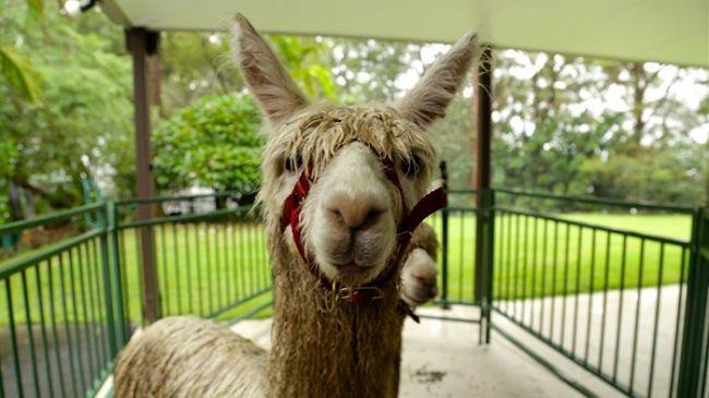 Well of course, it's Alpaca Week
