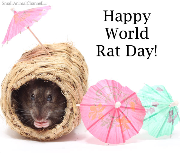 World Rat Day Is For Rats!