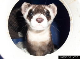 National Zoo Ferrets At Virginia Conservation Center On National Ferret Day ...