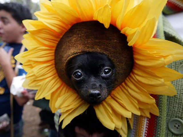 A look at pets in costume for Dress Up Your Pet Day