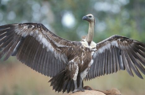 Happy International Vulture Awareness Day (IVAD09)!