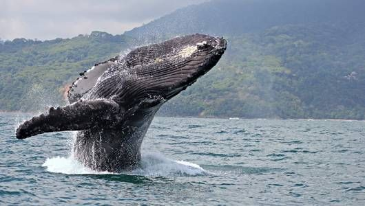 Humpbacks make a splash on World Whale Day