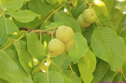 apricots at village/farm walk
