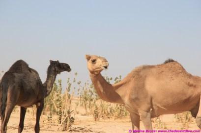 Surprised camels - wadi Aydam