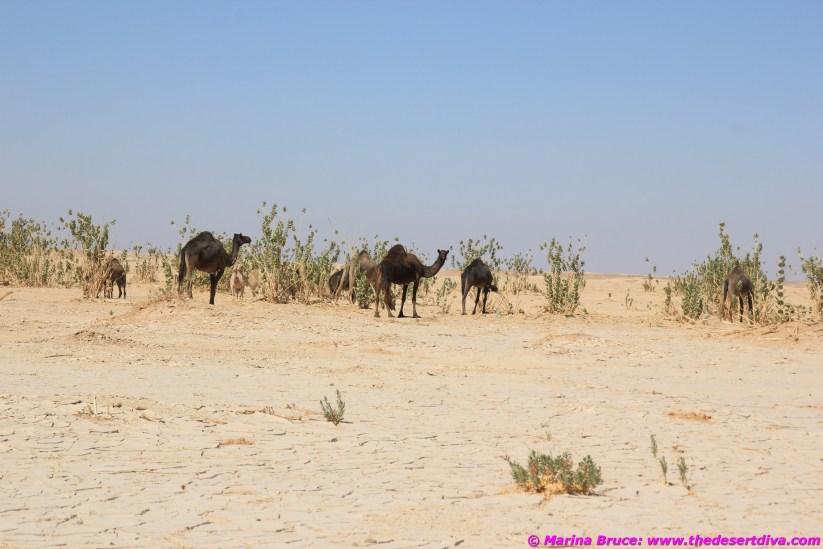 Camels wadi Aydam