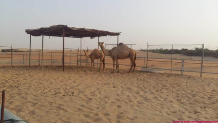 camel farm just north of planations