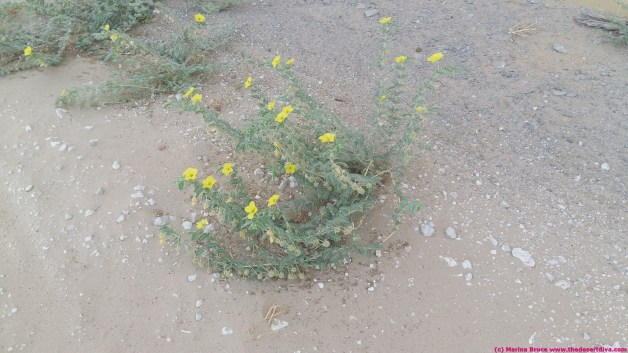 tribulus - national flower of the UAE and a source of camel fodder in the summer