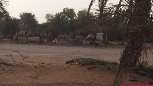 camels having breakfast