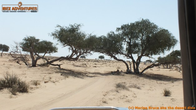 "it's not often you drive through a tree ""arch"" in Arabia!"