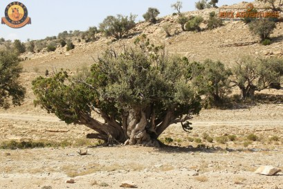 ancient Juniper tree - lots of them near our campsite