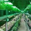 Tricor compared to Marijuana