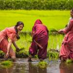 Young women planing rice in a village near Srinagar.