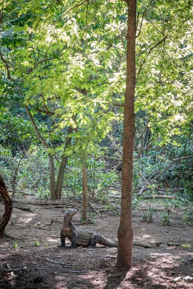 A Komodo dragon in the forest of Komodo island.