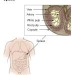 Random image: spleen