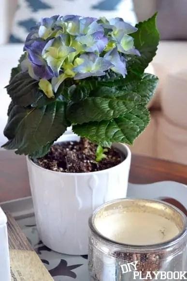Blue-Hydrangea-Plant