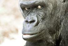 Closeup Silverback gorilla (123RF)