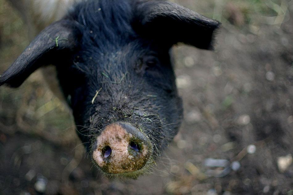 05-piggy