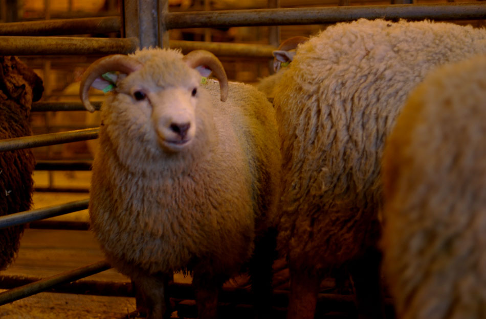 Shetland Ram lambs at the Shetland Flock Book Fine Fleece Prize Giving with Vi Sprung