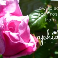 How To Save Your Roses From Aphids