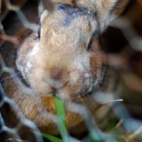 Naturally Feeding The Meat Rabbits